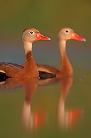 Black-bellied Whistling-Duck, Dendrocygna autumnalis, pair swimming, Lake Corpus Christi, Texas, USA