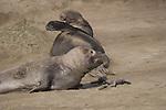 sub-adult bull elephant seals