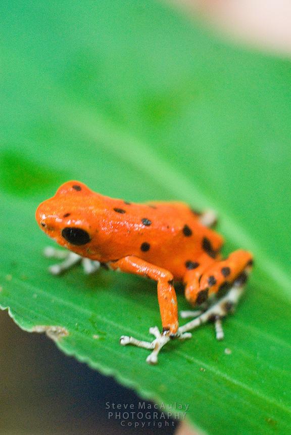 Red Poison Dart Frog, Red Frog Beach, Bocas Del Toro, Panama