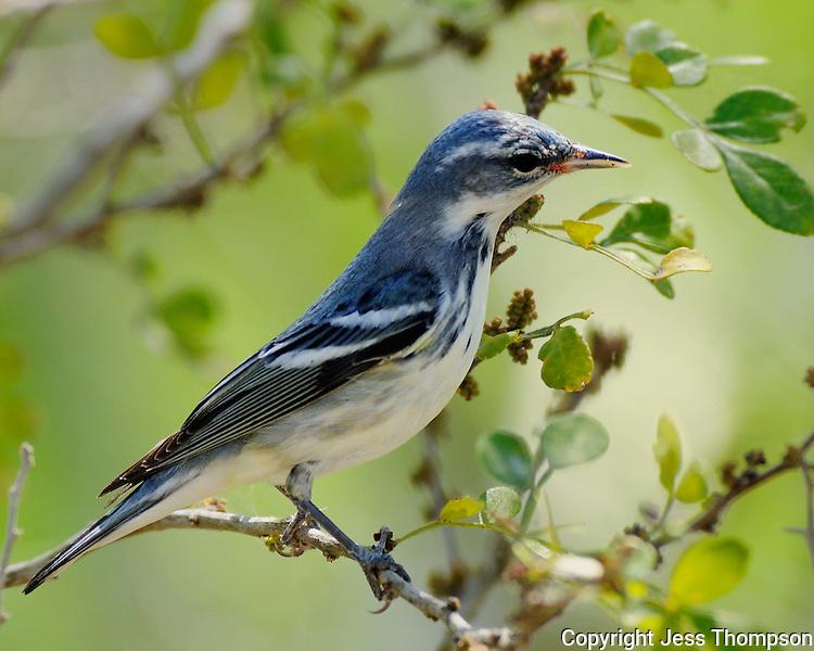 Cerulean Warbler, Laguna Atascosa Wildlife Refuge, Texas