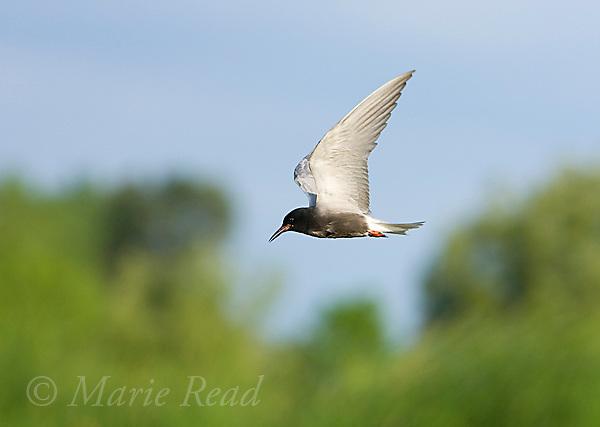 Black Tern (Chlidonias niger), Perch River Wildlife Management Area, New York, USA
