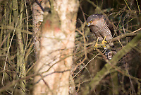 Male sparrowhawk (Accipter nisus) perched in woodland. Bookham Common, Surrey, UK.