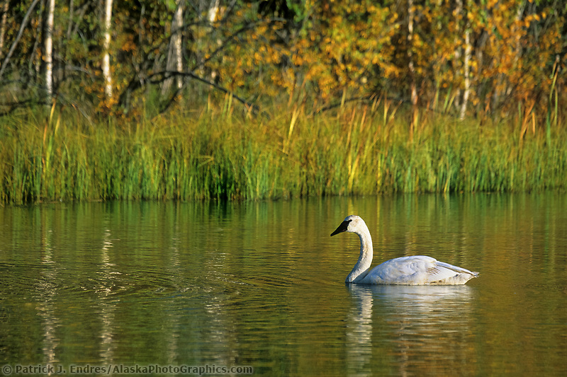 Trumpeter swan in a small tundra pond along the George Parks Highway, Alaska.
