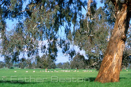Sheep grazing in paddock with some remaining Yellow Box trees, Holbrook area, NSW