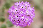 Anza-Borrego Desert State Park, Borrego Springs, California; close up detail of purple Sand Verbena (Abronia villosa) flowers