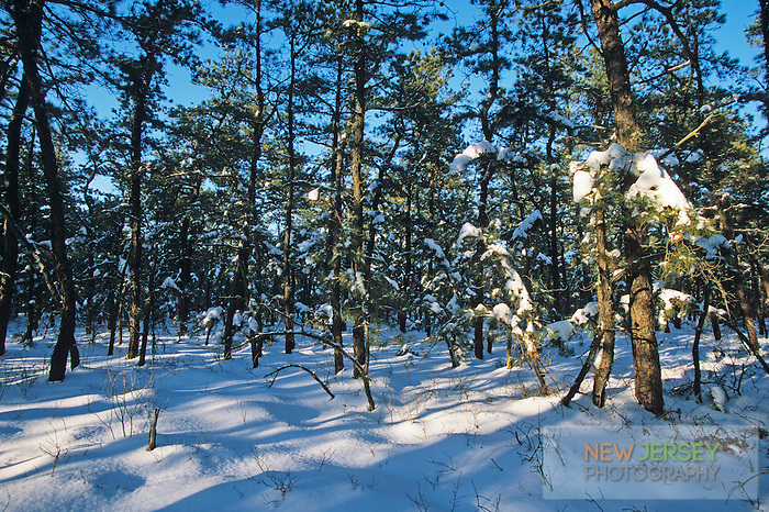 Snow-covered Pine Trees, Pitch Pine Forest, Pine Barrens, New Jersey