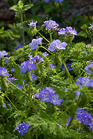 Phacelia distans, Wild heliotrope; flowering wildflower, California native plant Anza Borrego State Park