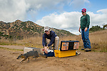 Santa Catalina Island Fox (Urocyon littoralis catalinae) biologists, Julie King and Rebekah Rudy, releasing fox after vaccination and health check up, Santa Catalina Island, Channel Islands, California