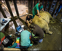 BNPS.co.uk (01202 558833)<br /> Pic: Longleat/BNPS<br /> <br /> Eggs are removed from Razima at Longleat.<br /> <br /> A last-ditch bid is taking place involving a British safari park to save the world's rarest animal from extinction using a pioneering IVF treatment.<br /> <br /> There are only three northern white rhinos left in the world after the species has been virtually wiped out due to poaching over the last 50 years.<br /> <br /> The last remaining male, Sudan, is 43-years-old and reaching the end of his life. Both surviving females have medical problems which prevent them from conceiving naturally.<br /> <br /> As a result, team of experts have visited Longleat Safari Park in Wiltshire and harvested nine eggs from the zoo's three female southern white rhinos which will be fertilised with semen extracted from Sudan.