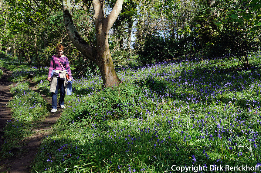 bluebell (Endymion nonscriptus) Waldhyazinthe oder Atlantische Hasenglöckchen  im Bluebell Wood in Fort Fiel, Insel Guernsey, Kanalinseln