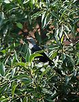 .Somali straling ( Onychognathus blythii) Socotra Island Yemen