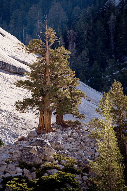A lone western juniper endures the hardships of a granite dome's slopes in the high country of Yosemite NP.