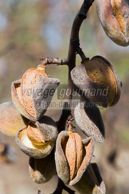 Europe/France/Languedoc-Roussillon/30/Gard/Bouquet: Les Amandes du Mont Bouquet chez Jean Hager, producteur transformateur