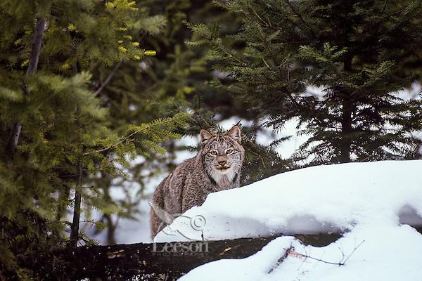 Canadian Lynx (Lynx canadensis) in winter, forest setting.  Western U.S., winter.