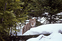 Canadian Lynx (Lynx canadensis) in winter, forest setting.  Western U.S., winter.