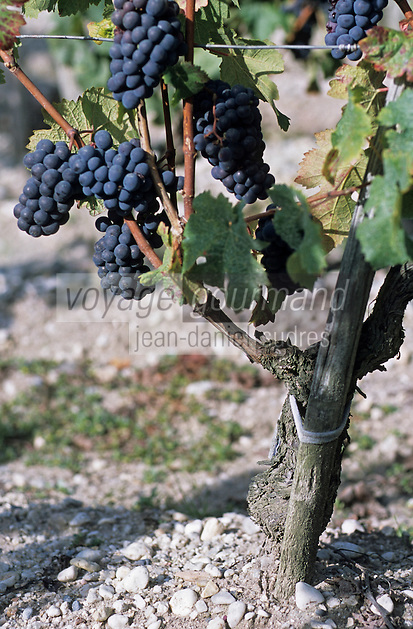 Europe/France/Aquitaine/33/Gironde : Cépage rouge Cabernet franc