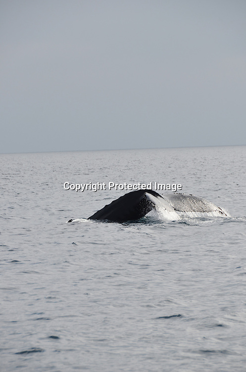 Stock photo of Humpback Whale