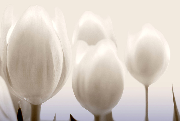 Tulips in light