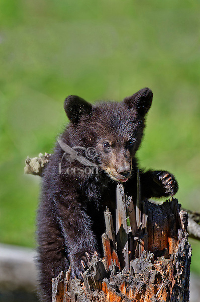 "Wild Black Bear (Ursus americanus) cub playing on tree stump.  Western U.S., spring. (This is what is known as a ""coy""--cub of the year.)"