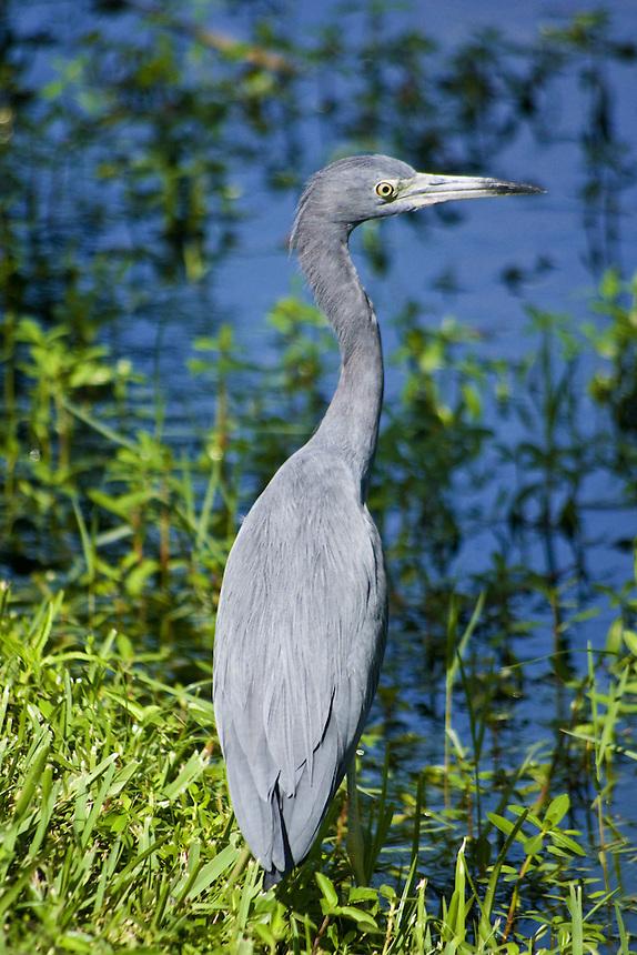 Little blue heron, Mirror Lake, Lakeland, Florida