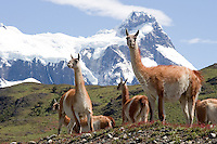 Guanacos, a cousin of the llama and alpaca, play at mating games as spring passes at Torres del Paine National Park in southern Chile. (Kevin Moloney for the New York Times)