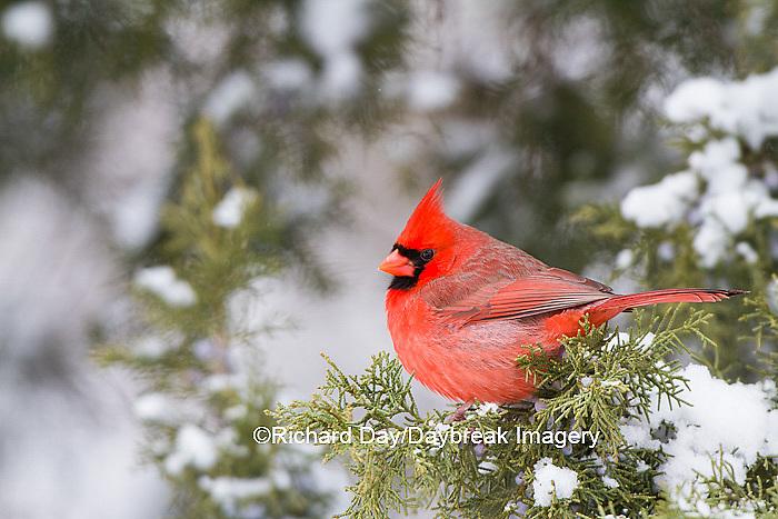 01530-21607 Northern Cardinal (Cardinalis cardinalis) male in Juniper tree (Juniperus keteleeri) in winter Marion Co. IL