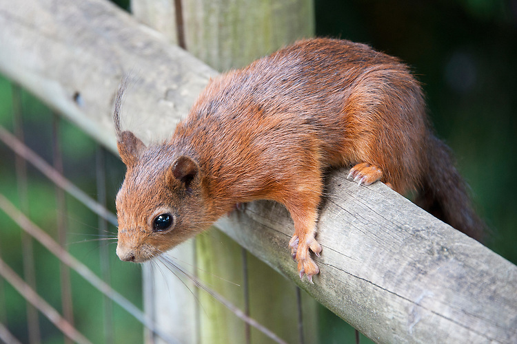 Red squirrel (Sciurus vulgaris), late May.