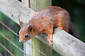 Red squirrel (Sciurus vulgaris), late May.