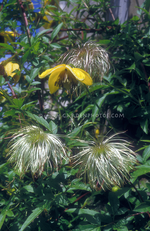Clematis orientalis flower & seedheads, yellow flowers climbing vine perennial