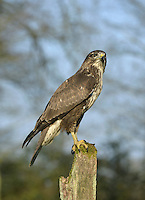Buzzard - Buteo buteo. Wingspan 115-130cm. Britain's commonest medium-sized bird of prey. Soars with broad, rounded wings held in shallow 'V', with tail fanned. Plumage is very variable and some birds are very pale. Sexes cannot be distinguished by appearance. Adult is typically brown overall; breast is finely barred and usually paler than throat or belly. In flight and from below, flight feathers and tail are grey and barred; note dark trailing edge to wings and dark terminal band on tail. Body and underwing coverts are contrastingly dark (carpal patch is darkest) and pale breast band can usually be seen. Juvenile is similar to adult but lacks terminal dark band on tail and obvious dark trailing edge to wings. Voice – utters a mewing pee-ay. Status and habitat – Present throughout the year and widespread, least numerous in east. Usually associated with lightly wooded farmland.