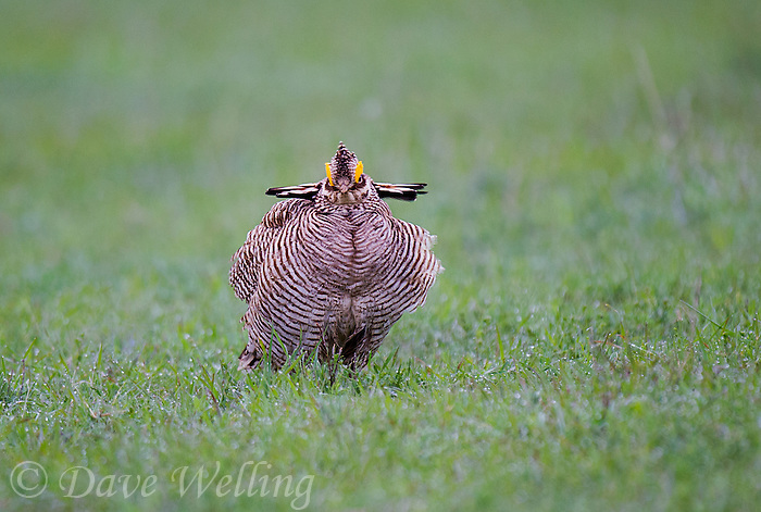 572110195 a wild lesser prairie chicken tympanuchus pallidicintus displays and struts on a lek on a remote ranch near canadian in the texas panhandle