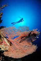 Annella mollis, Subergorgia hicksoni, Taucher und Riesengorgonien im Kroallenriff, scuba diver and giant seafan, coral reef, coralreef, Bali, Indonesien, Indopazifik, Bali, Indonesia Asien, Indo-Pacific Ocean, Asia