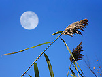 A Stalk Of Decorative Grass Against A Deep Blue Sky And Daylight Full Moon, Southwestern Ohio, USA