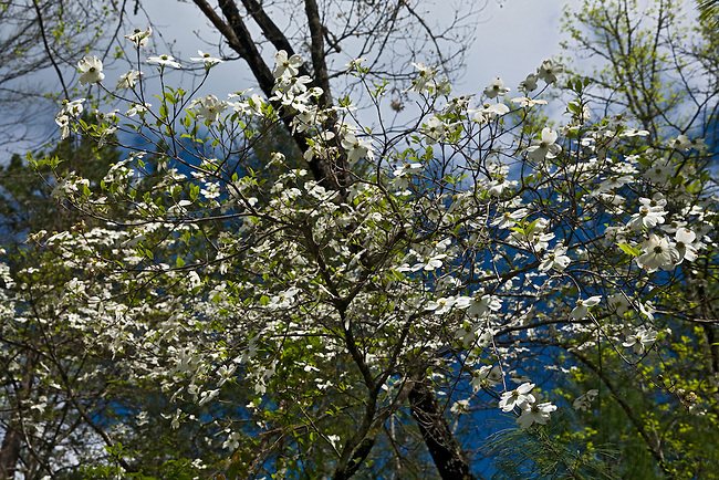 Dogwood in bloom, Sumpter National Forest
