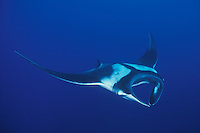 A Giant Manta, Manta birostris, glides with outstretched wings, conjuring images of some giant underwater bird of prey. Mantas actually feed on plankton, which they funnel into their wide mouths with a pair of specialized cepahlic lobes, as seen here.  Andaman Sea.