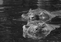 """Black & white stock photo of hippos crossing river with heads above the water surface.<br /> <br /> View the gallery - """"Wildlife"""" for the color version of this image."""