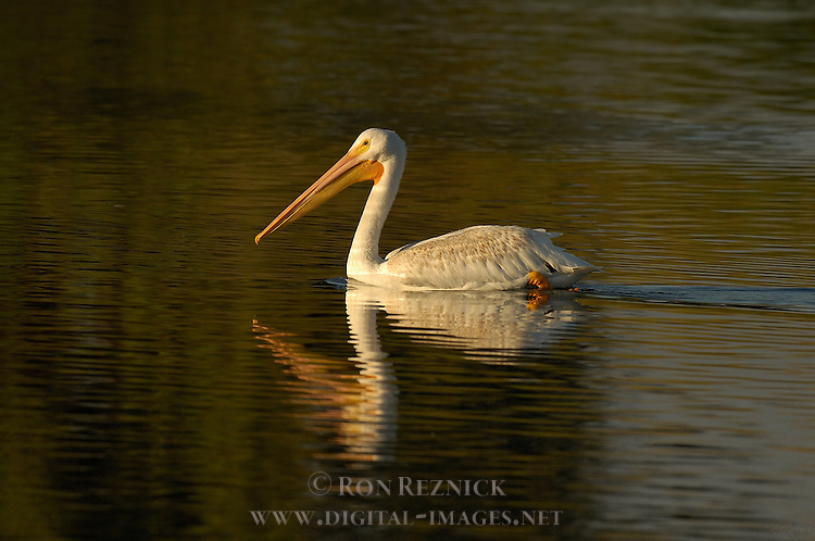 White Pelican at Sunset, American White Pelican, Sepulveda Wildlife Refuge, Southern California