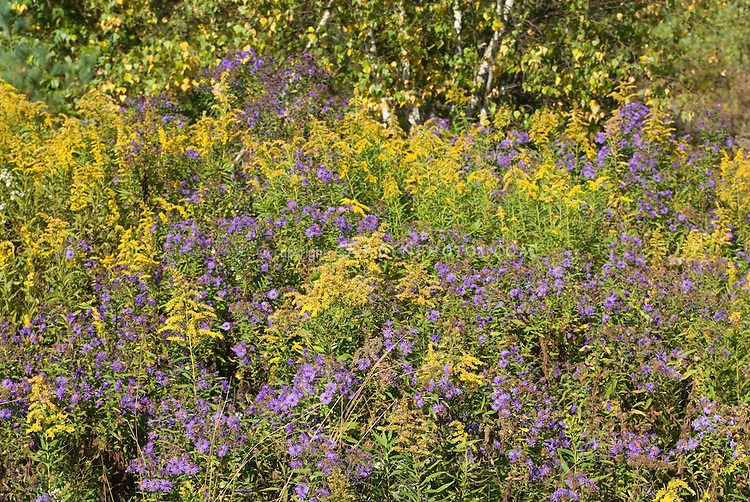 Aster novae-angliae with Solidago in the wild (New England Aster with Goldenrod) in Pennsylvania