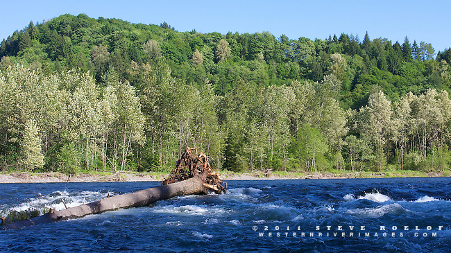 Blue sky, dense forest, large wood, and blue water in a classic Sandy River scene.