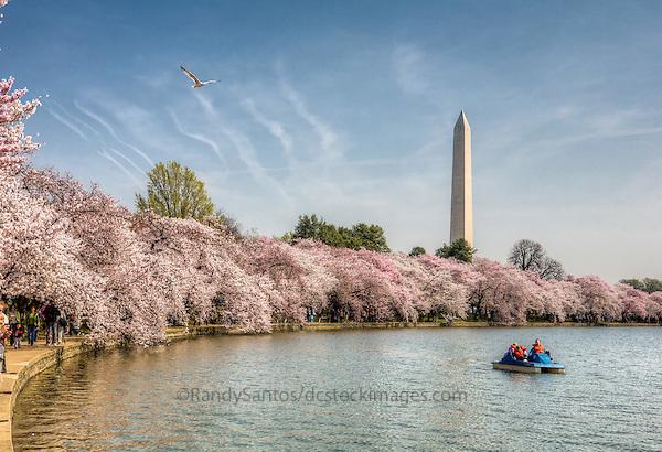 Cherry Blossoms Washington Monument Tidal Basin Washington DC