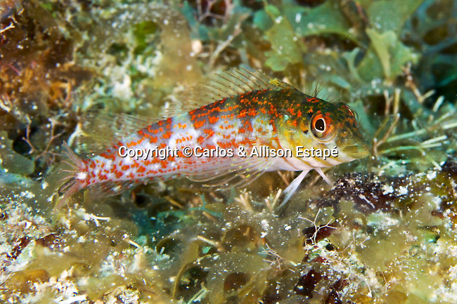 Malacoctenus triangulatus, Saddled blenny, Grand Cayman