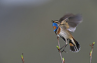 Bluethroat, Luscinia svecica, male flapping wings while singing, Lake of Ritom, Alps, Switzerland, Europe
