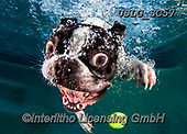 REALISTIC ANIMALS, REALISTISCHE TIERE, ANIMALES REALISTICOS, dogs, paintings+++++SethC_Rocco_320B8992rev,USLGSC57,#A#, EVERYDAY ,underwater dogs,photos,fotos ,Seth