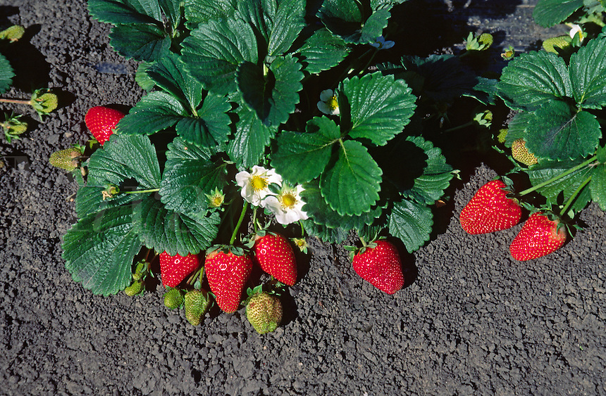 Close up of strawberry plant with fruit in the field - Watsonville, California.