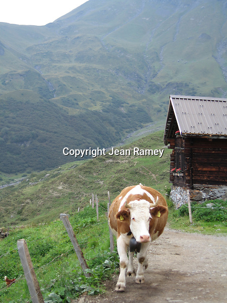 Cow wears a Swiss bell at its summer home high in the Swiss Alps