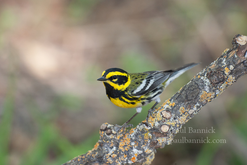 A Male Townsend's Warbler perches upon a lichen-covered branch in the Huachuca Mountains of Southeast Arizona