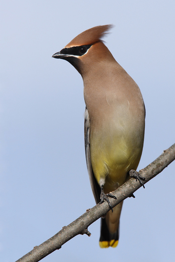The Cedar Waxwing is one of the few North American birds that specializes in eating fruit. It can survive on fruit alone for several months.