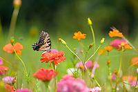 Eastern Tiger Swallowtail, Wildflower Meadow, New Jersey