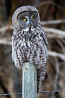 Great Grey Owl glancing sideways from atop a fence post.. 2219x3328