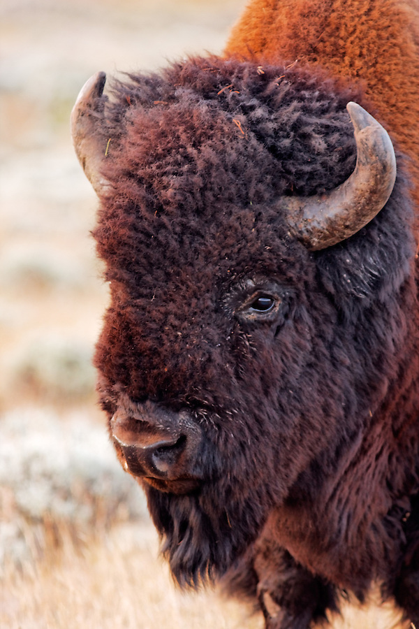 Head of male bison in autumn, Yellowstone National Park, Wyoming, USA